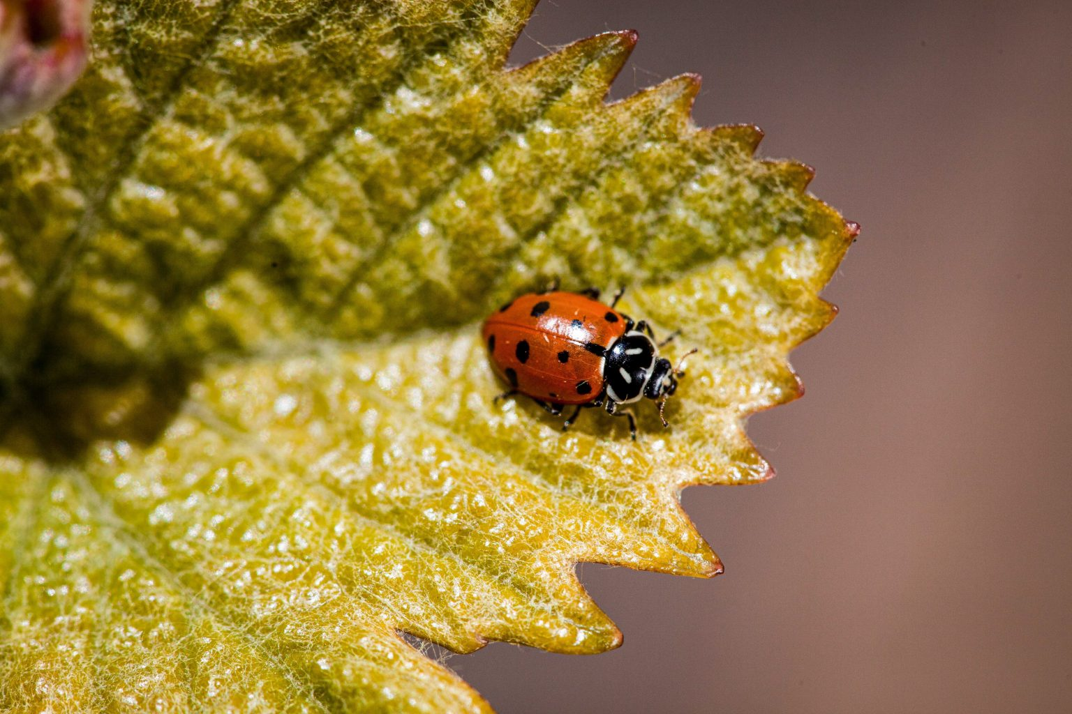 Ladybug in the vineyard