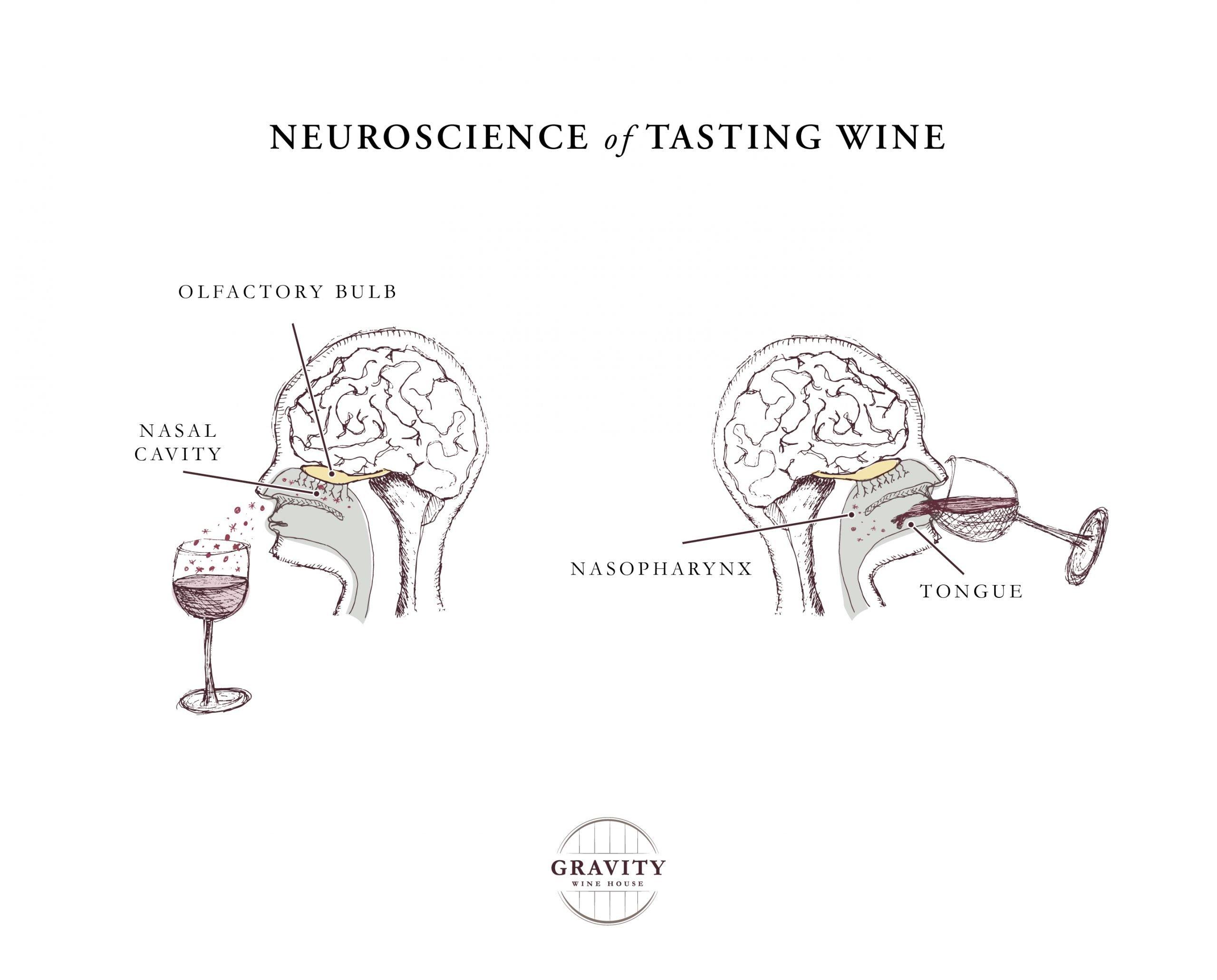 neuroscience of tasting wine illustration